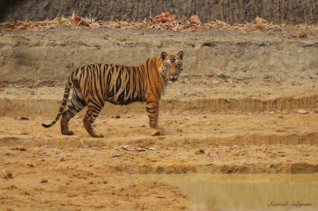 Kallu male tiger at Jhumri Talayya waterhole, Bandhavgarh. © Santosh Saligram