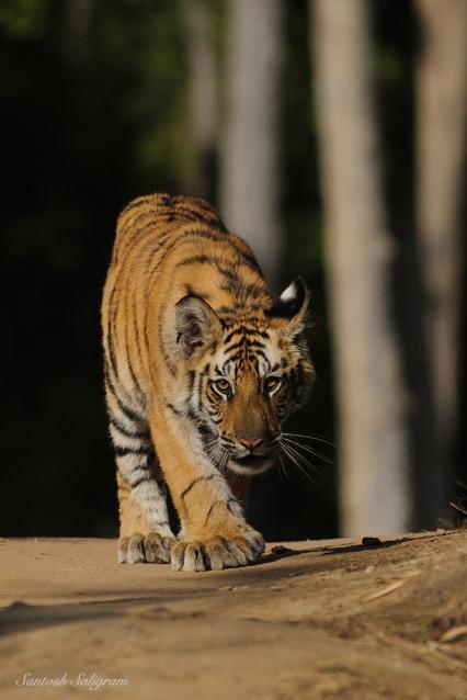 Mirchani male cub M1 at Patpar Naala, Bandhavgarh. By Santosh Saligram