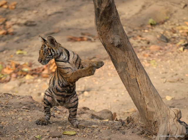 Jhurjhura Female's Cub in Funny Pose at Jhurjhura, Bandhavgarh, by Santosh Saligram