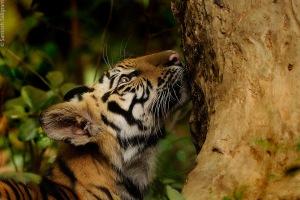 Chorbehra male cub in Jamunia, Bandhavgarh © Santosh Saligram