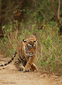Tigress T18 near Padam Talab, Ranthambhore © Santosh Saligram