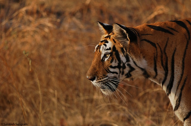 Old Banbehi female near Ghodademon Junction, Bandhavgarh © Santosh Saligram