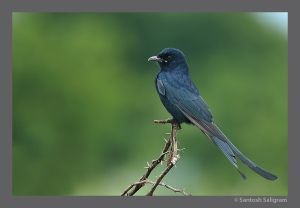 Black Drongo in Maidanahalli, India