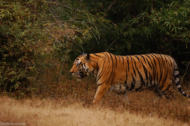 Bokha the Tiger Walking in Bandhavgarh Tiger Reserve