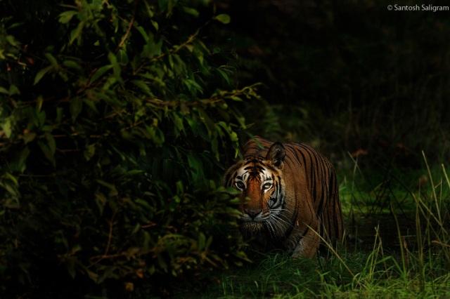 Chorbehra female at Sidhbaba, Bandhavgarh © Santosh Saligram