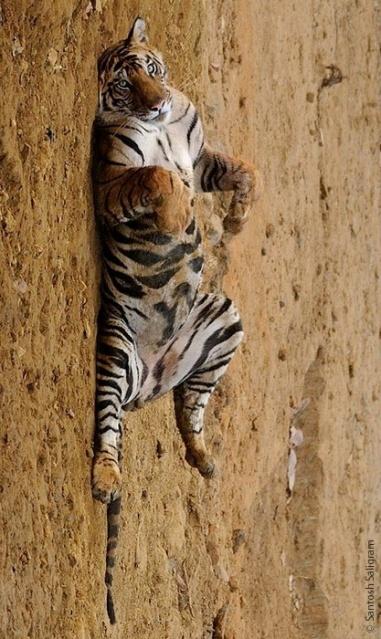 Kallu male tiger Bandhavgarh © Santosh Saligram
