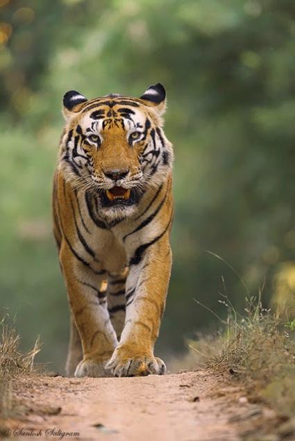 Male Bengal tiger Munna walking head-on Kanha © Santosh Saligram