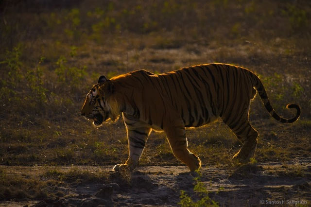 Back-lit picture of male tiger Bamera in the Ghodademon area of Bandhavgarh
