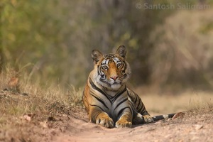 Female cub of Banbehi's first litter sitting on a jeep track in Bandhavgarh