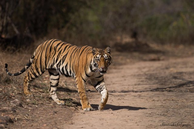 Banbehi female cub in May 2013, Santosh Saligram