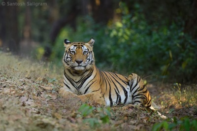 Male tiger Munna in Kanha by Santosh Saligram