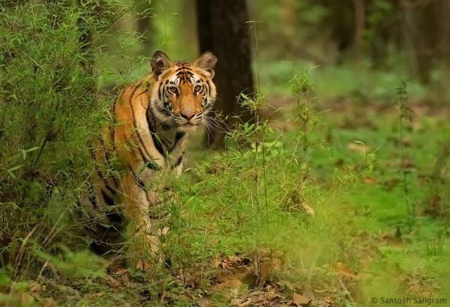 Rajbehra Cub Bandhavgarh Tigga Tales Blog