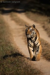 Male tiger Munna in Kanha by Santosh Saligram