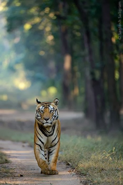 Male tiger Munna walking head-on in Kanha, by Santosh Saligram Photography