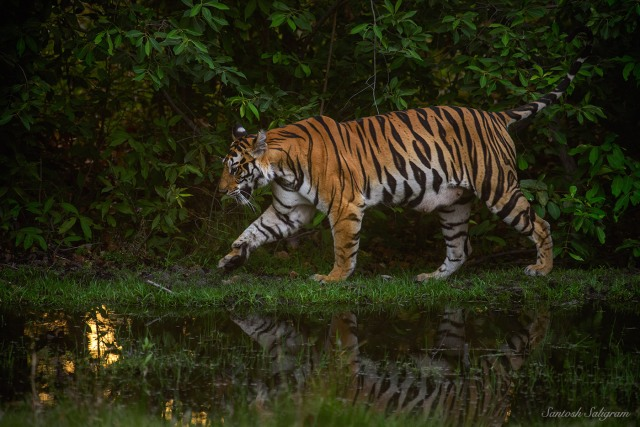 Banbehi Female at Kinarwah, Tala, Bandhavgarh, © Santosh Saligram