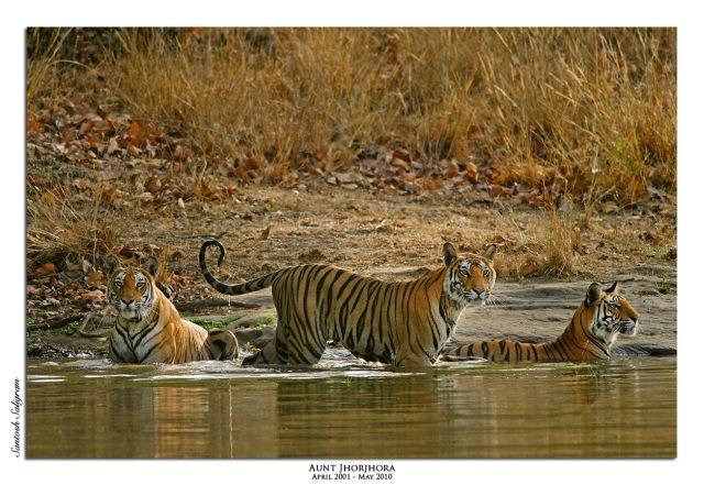 Jhurjhura female with Dhiti the Rajbehra female and Kankati Tiger Bandhavgarh Santosh Saligram