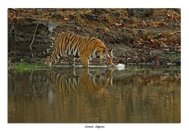 Tiger at Bandhavgarh National Park, India