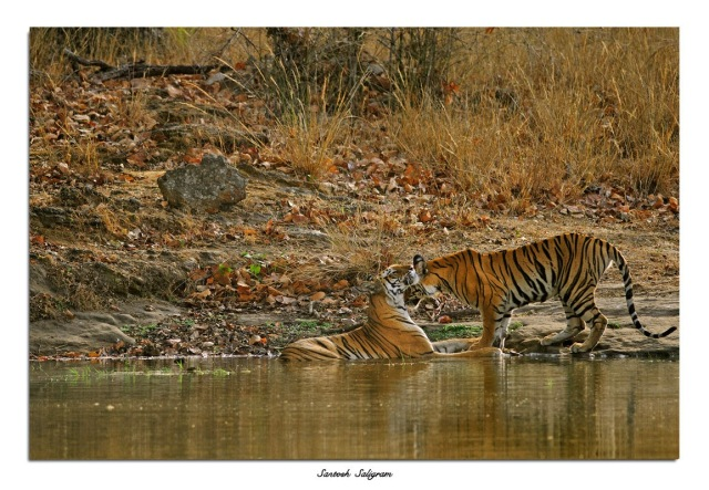 Tigers at Rajbehra, Bandhavgarh National Park, India