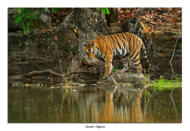 Tigress at Bandhavgarh National Park, India