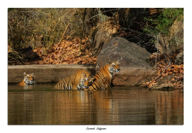 Tigers at Bandhavgarh National Park, India