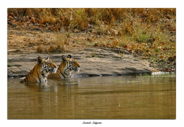 Tiger sisters in Bandhavgarh National Park, India