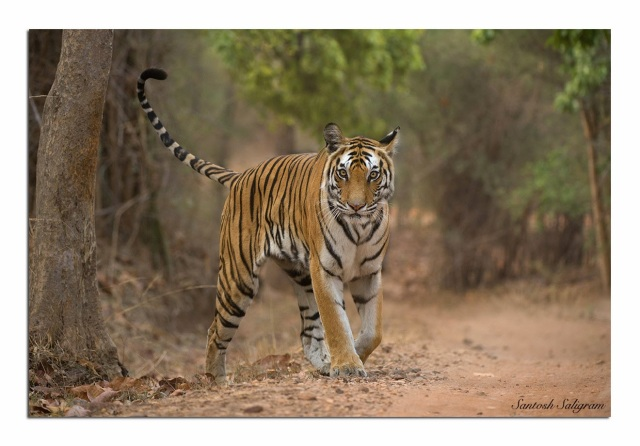 Tiger Tigress India Santosh Saligram Rajbehra Female Tala Bandhavgarh