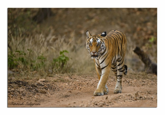 Tiger Tigress Tala Bandhavgarh Santosh Saligram India Rajbehra Female