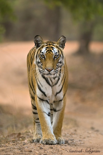 Rajbehra Female walking on a vehicle track in Bandhavgarh Tiger Reserve