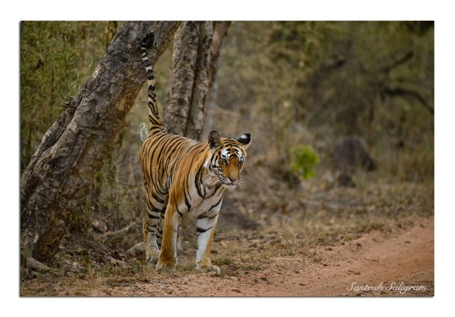 Rajbehra Female Tiger Tigress Spraying Tala Bandhavgarh Santosh Saligram