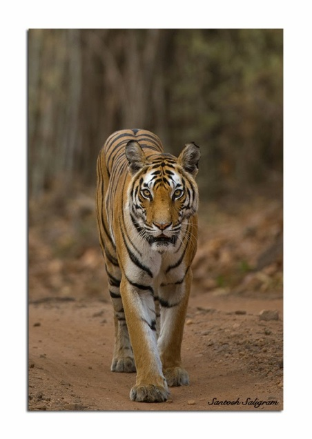 Tiger Tigress Tala Bandhavgarh Santosh Saligram Rajbehra Female