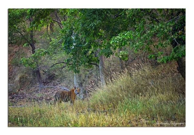 Mirchani male cub at Damnar, Bandhavgarh. © Santosh Saligram