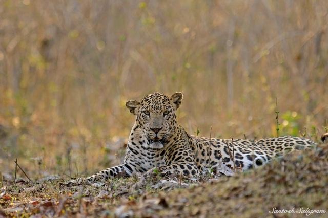Kabini leopard sitting, © Santosh Saligram