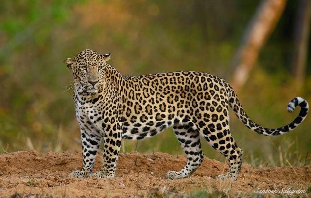Kabini leopard looking back, © Santosh Saligram