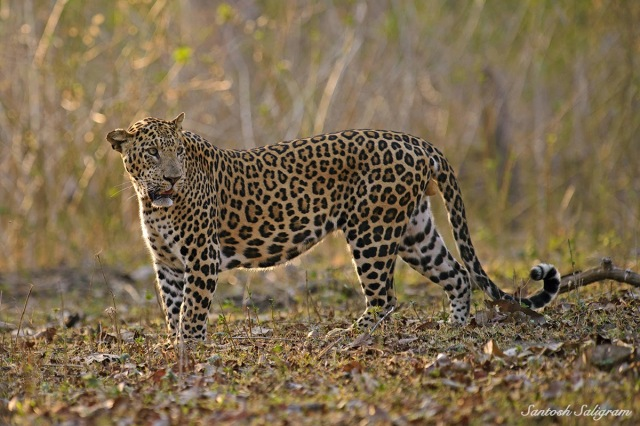 Leopard looking back © Santosh Saligram