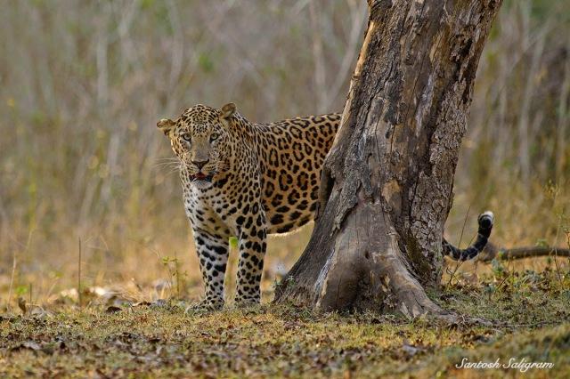 Kabini leopard, © Santosh Saligram