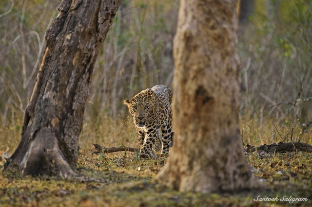 Kabini leopard between trees, © Santosh Saligram