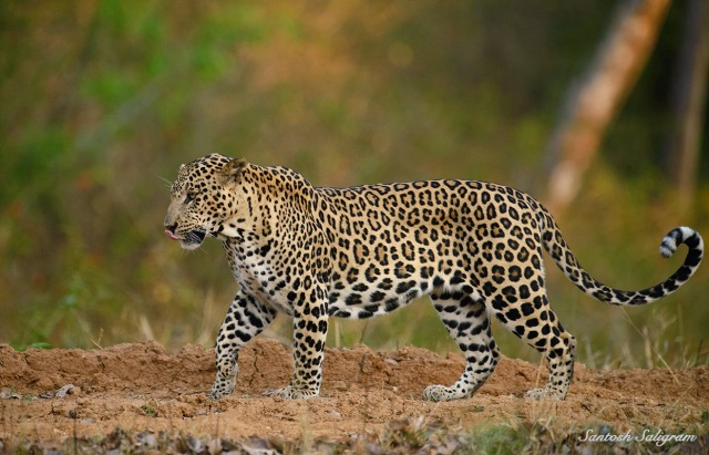 Kabii leopard walking, © Santosh Saligram
