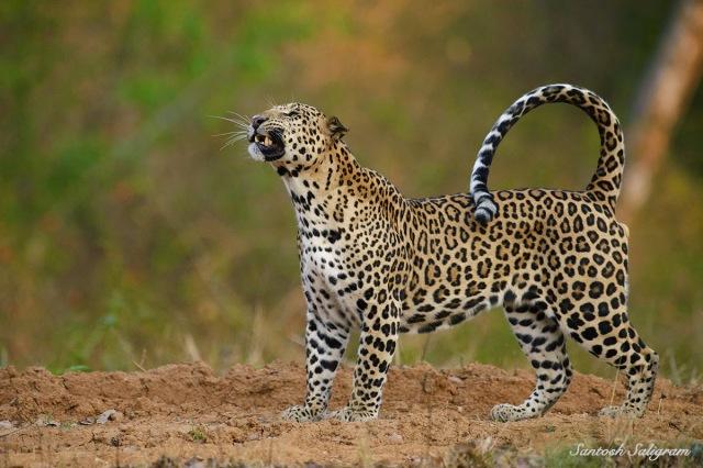 Kabini leopard grimacing, © Santosh Saligram