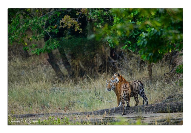 Mirchani female and two male cubs at Damnar, Bandhavgarh. © Santosh Saligram