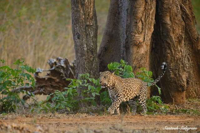 Kabini leopard spray-marking, © Santosh Saligram