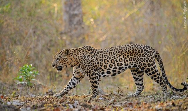 Kabini leopard walking, © Santosh Saligram