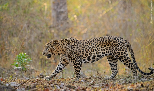 Kabini leopard walking, © Santosh Saligram