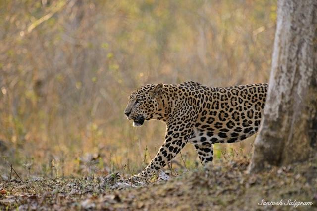 Leopard walking, © Santosh Saligram