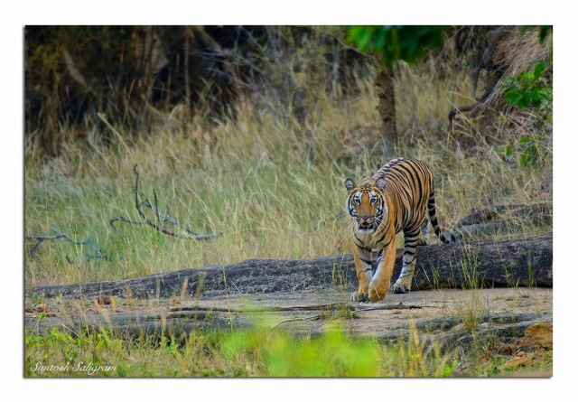 Mirchani male cub at Damnar, Bandhavgarh. © Santosh Saligram
