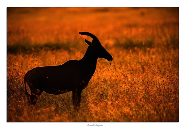 Topi in back light at Masai Mara, Kenya. © Santosh Saligram