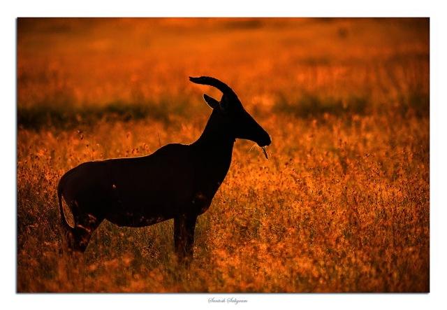 Topi in back light at Masai Mara, Kenya. © Santosh Saligram