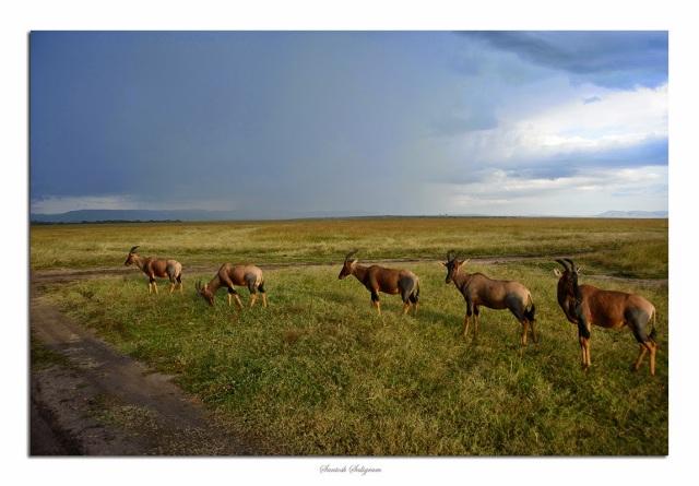 Topis at Masai Mara, Kenya. © Santosh Saligram