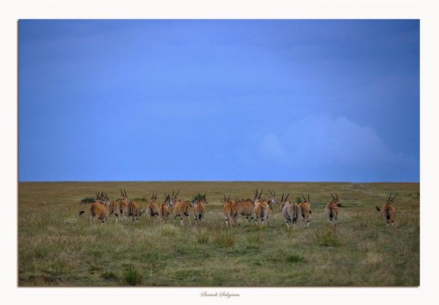 Common eland in Masai Mara, Kenya. © Santosh Saligram