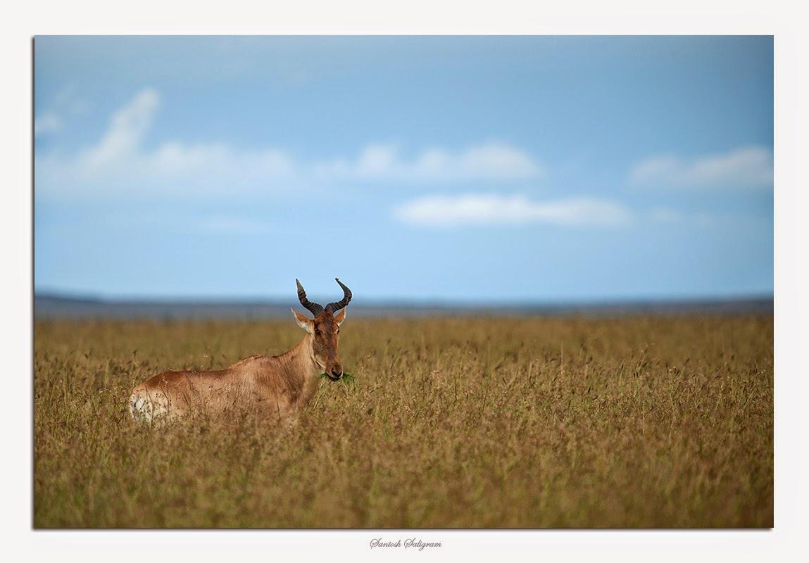 Coke's hartebeest in Masai Mara, Kenya. © Santosh Saligram