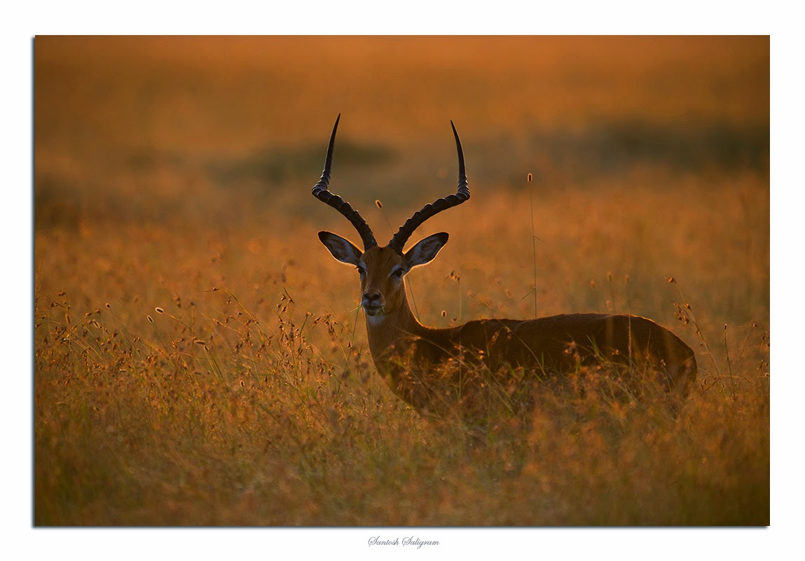 Male impala in back light in Masai Mara, Kenya - © Santosh Saligram